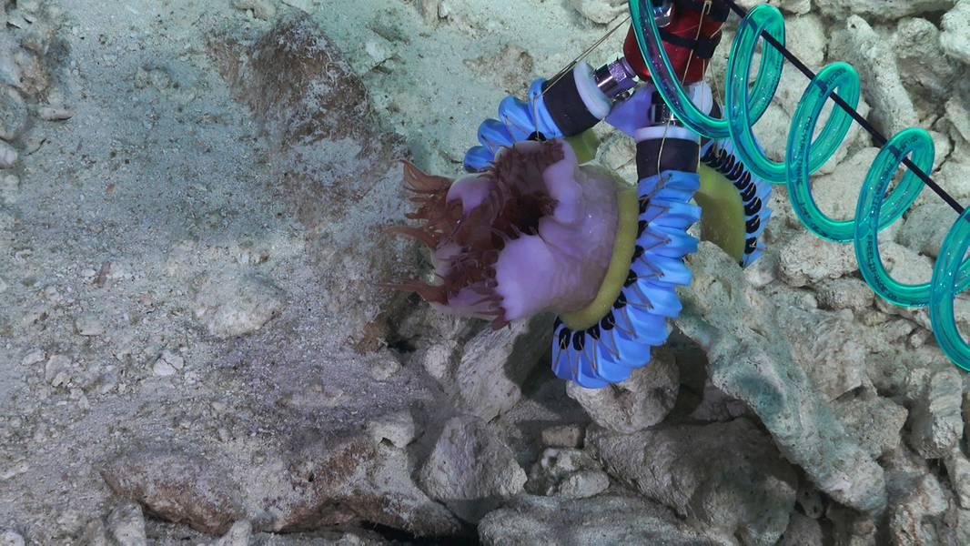硬質基盤上の岩石に付着した海のアネモネを把握している3本指のソフトマニピュレータ。 (クレジット:Schmidt Ocean Institute)