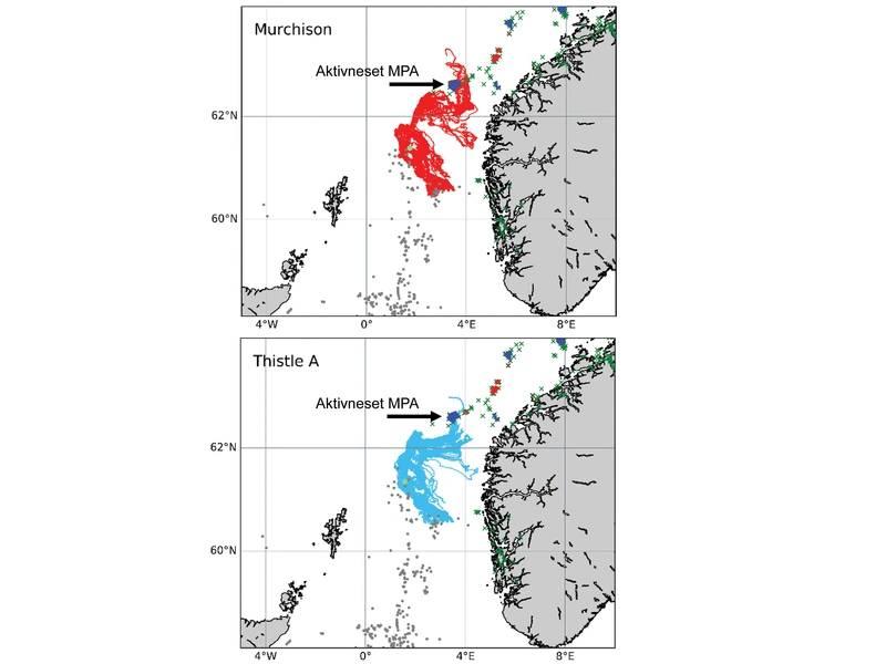 """由INSITE第一阶段项目""""ANChor""""进行的模拟显示,保护Lophelia珊瑚珊瑚的海洋途径可能来自蓟A和(现在克减的)Murchison平台,其中一些最终定居在挪威的Aktivneset海洋保护区。来自INSITE第1阶段ANChor项目的图片。"""
