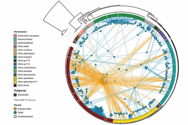 Diferentes cepas de bacterias se muestran alrededor del borde del círculo, con colores que indican diferentes especies. Los virus de cola se muestran como círculos azules y los virus sin cola como círculos anaranjados. Cada virus está conectado por líneas a las variedades de bacterias que pueden infectar, lo que demuestra que las variedades sin cola infectan variedades mucho más diferentes que las de cola, que típicamente infectan solo una o dos cepas. (Cortesía de los investigadores)