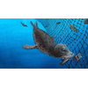 Depredation—when seals and other marine animals prey on fish caught in net—can be costly both economically and ecologically. It can reduce the amount of sell-able fish, damage fishing gear, and lead to the lethal entanglement of seals and other protected marine mammals in fishing nets. (Illustration courtesy of Terra Dawson, dawsonillustrations.com)