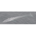 Blue whale in the Pacific Ocean. Photo credit: Jessica Morten, Channel Islands National Marine Sanctuary, National Ocean Service, NOAA