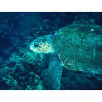 Nesting beach habitat for loggerhead sea turtles will be restored with the Collier County project. (Photo: BOEM)