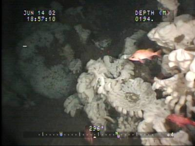 Glass Sponge reef: Photo credit Dr. Kim Conway/Canadian Govt.