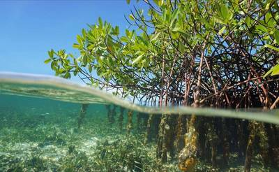 Mangroves, a tree found in tropical and sub-tropical regions that acts as a natural coastal defence for areas threatened by coastal inundation. Photo courtesy UKHO