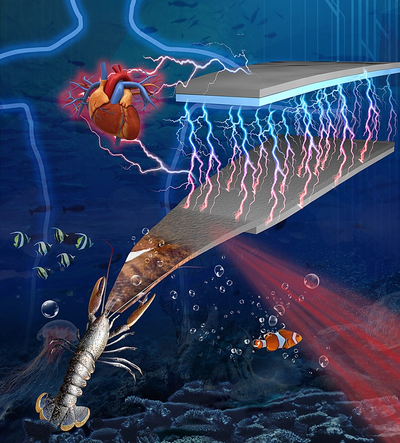A Purdue team is transforming shrimp shell material into a functional device for generating electricity. (Image: Purdue University)