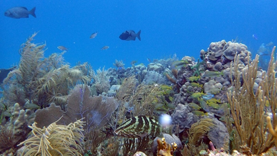 A reefscape in the highly-protected Jardines de la Reina (Gardens of the Queen), Cuba provides habitat and feeding grounds for large numbers of fish, including top predators like sharks and groupers. (Photo by Amy Apprill, ©Woods Hole Oceanographic Institution)
