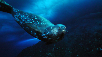 Weddell seals swim in challenging conditions. (Photo: McMurdo Oceanographic Observatory, CC BY-ND)