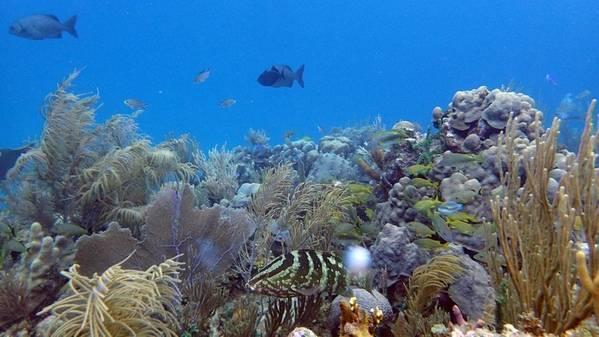 Куба, являющаяся рифовым ландшафтом в высоко защищенных Хардинес-де-ла-Рейна (Сады Королевы), обеспечивает среду обитания и места кормления для большого количества рыб, включая высших хищников, таких как акулы и груперы. (Фото Эми Апприл, © Океанографический институт Вудс-Хоул)
