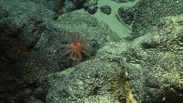 Crosta de ferromanganês rica em cobalto no Oceano Pacífico. (Foto: Christopher Kelley / NOAA)