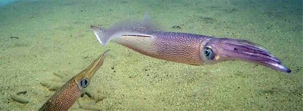 يعد الحبار الطويل (Doryteuthis pealeii) من الأنواع المهمة في مصايد الحبار في الساحل الشرقي ، والتي تقدر قيمتها بحوالي 40 مليون دولار سنويًا. (تصوير إيان جونز ، معهد وودز هول لعلوم المحيطات)