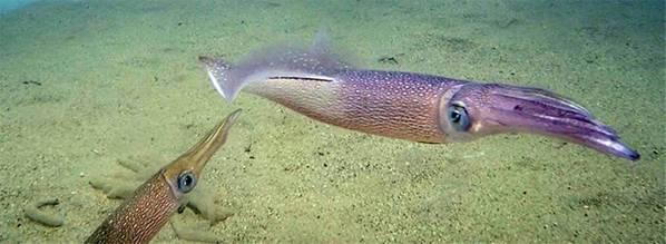 Longfin кальмары (Doryteuthis pealeii) являются важным видом на промысле кальмаров на восточном побережье, стоимость которого оценивается примерно в 40 миллионов долларов в год. (Фото Яна Джонса, Океанографический институт Вудс-Хоул)