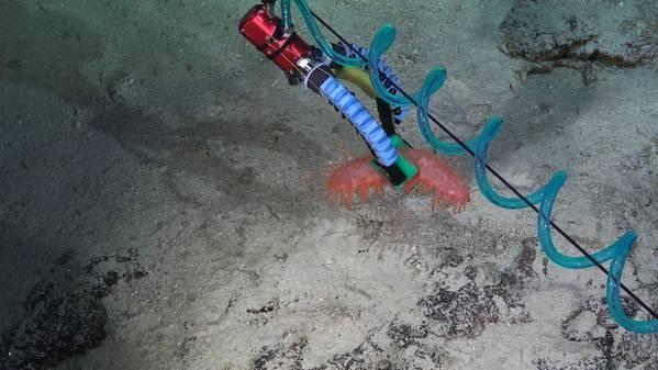 Los investigadores convirtieron su manipulador suave de tres dedos en una versión de dos dedos, que se ve aquí con una pizca de agarre en un pepino de mar extremadamente delicado. (Crédito: Schmidt Ocean Institute)