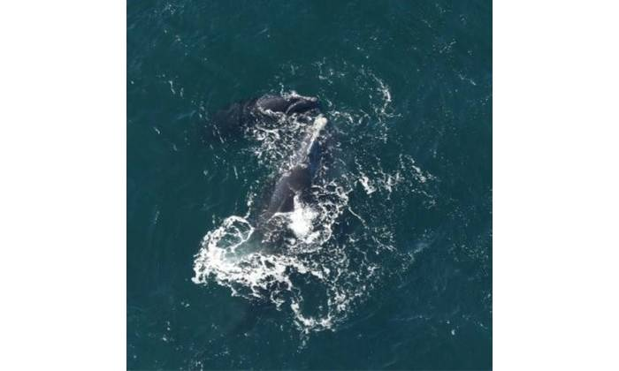 Catalog #2420 swims with her fifth calf off the coast of Martha's Vineyard on March 7, 2021. CREDIT: New England Aquarium, taken under NOAA permit #19674