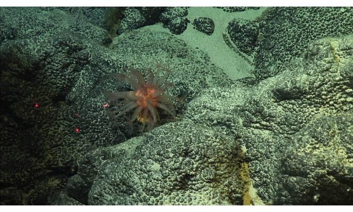 Cobalt-rich ferromanganese crust in the Pacific Ocean. (Photo: Christopher Kelley / NOAA)