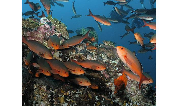 The creolefish (Paranthias furcifer) is a member of the grouper family. There is currently limited information about their lifestyle and behavioral patterns. Credit: G.P. Schmahl/NOAA.