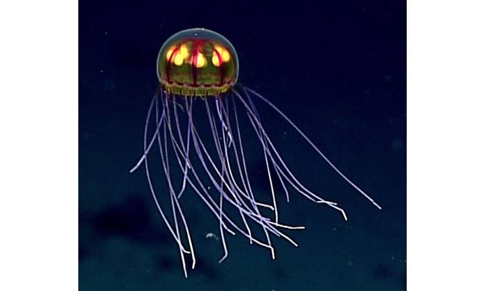 """This stunningly beautiful jellyfish was seen in the Marianas Trench Marine National Monument while exploring the informally named """"Enigma Seamount"""" at a depth of about 3,700 meters. Scientists identified this hydromedusa as belonging to the genus Crossota. (Credit: NOAA)"""