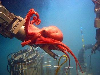 This octopod, Benthoctopus sp., seemed quite interested in the deep submergence vehicle Alvin's port manipulator arm. Those inside the sub were surprised by the octopod's inquisitive behavior. Image courtesy of Bruce Strickrott, Expedition to the Deep Slope.