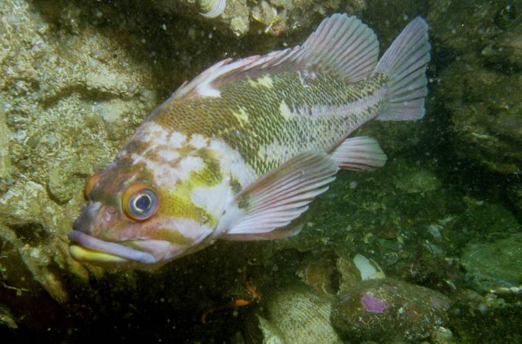 Copper rockfish (Photo: Saab Seaeye)