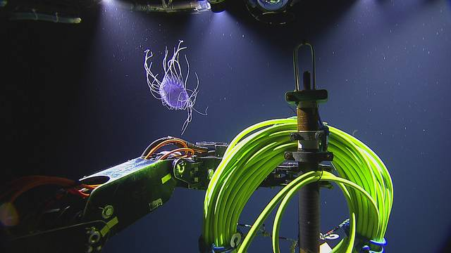 Dinner plate jelly spotted during a descent to Main Endeavour Field (Copyright: 2018 ONC/OET/Nautilus Live)