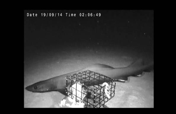 False catshark (Photo:  Mackellar Violich, Dr. Edith Widder and Medusa)