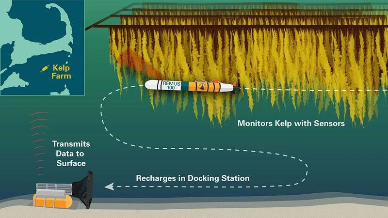 An illustration of the autonomous underwater observation system the WHOI team will develop for extended monitoring of large-scale seaweed farms. A REMUS 100 AUV outfitted with acoustic, optical and environmental sensors will monitor seaweed growth and health, equipment status and water column properties. A REMUS docking station allows the vehicle to recharge and transmit data. (Illustration: Natalie Renier, Woods Hole Oceanographic Institution)