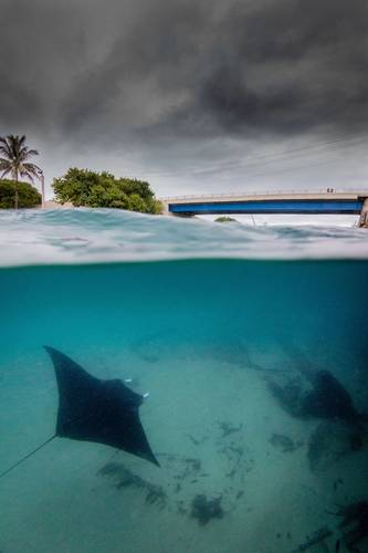 A manta ray swims through the inlet. (Photo credit: Bryant Turffs)