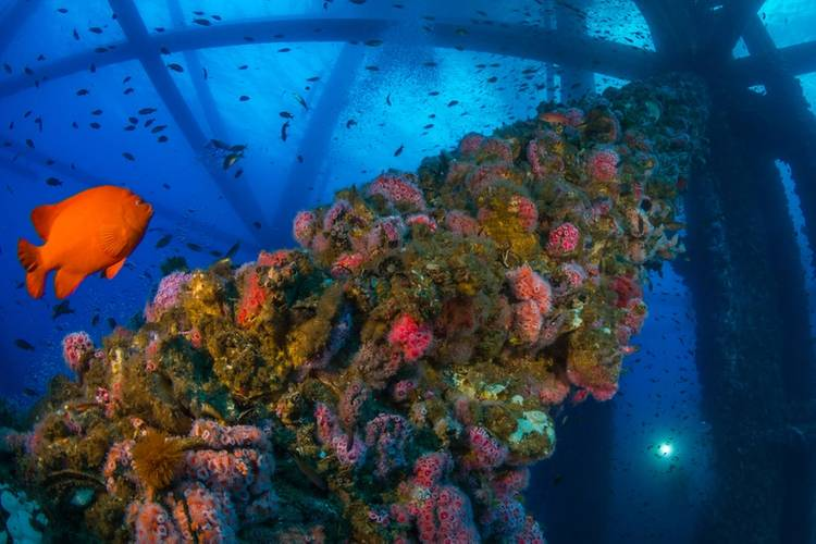 Marine life covers the underwater structure of an offshore oil rig in California. A bright orange garibaldi swims nearby. (Photo: Joe Platko)