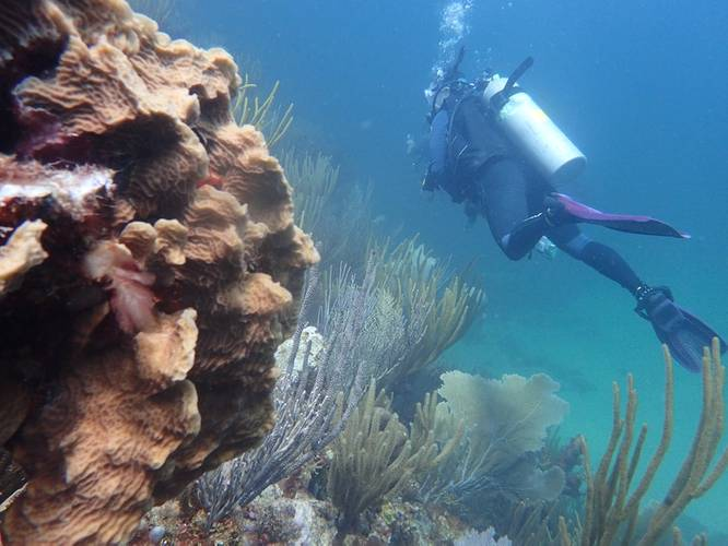 A NOAA researcher swims past coral while collecting data in the U.S. Caribbean. (Credit: NOAA)