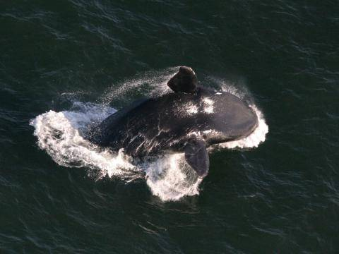 A right whale breaching (Credit: NOAA-NEFSC/Christin Khan)