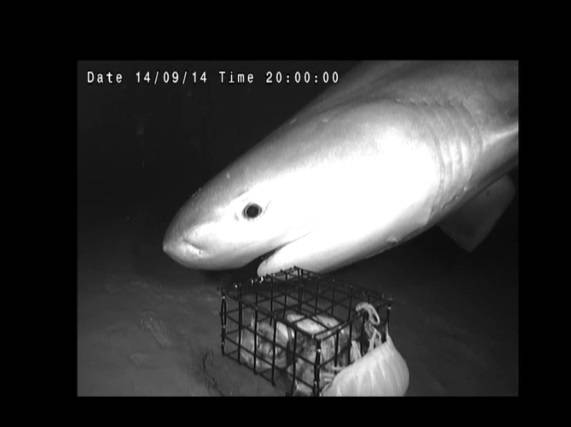 Sixgill shark (Photo:  Mackellar Violich, Dr. Edith Widder and Medusa)