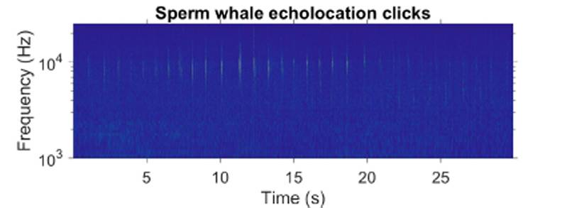 Spectrogram showing sperm whale echolocation clicks, spaced at intervals of approximately one second, collected with a submarine glider operated by University of East Anglia (Image: NOC)