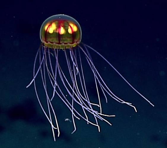 "This stunningly beautiful jellyfish was seen in the Marianas Trench Marine National Monument while exploring the informally named ""Enigma Seamount"" at a depth of about 3,700 meters. Scientists identified this hydromedusa as belonging to the genus Crossota. (Credit: NOAA)"