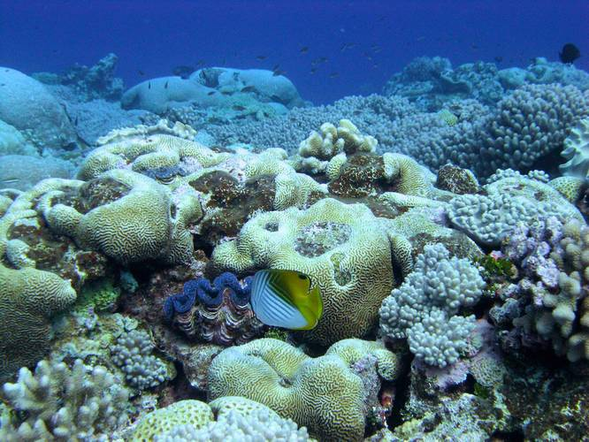 A Threadfin butterflyfish and a giant clam on the reef at Wake Atoll. (Photo: NOAA Fisheries/Benjamin Richards)